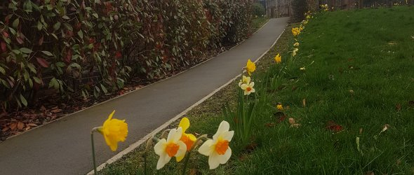 Daffodils brightening a dull day planted by the Scraptoft Joggers